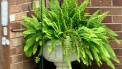 Photo of Boston Fern Outdoor: Si può coltivare una felce di Boston all'aperto?