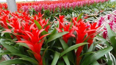 Photo of Coltivare una bromeliacea e curare una pianta di bromeliacea