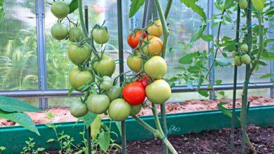 Photo of Coltivazione di pomodori ad anello – Scopri la coltivazione del pomodoro ad anello