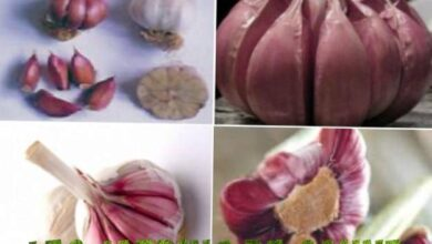 Photo of Cos'è il marciume di cipolla basale? Suggerimenti per il trattamento del decadimento della cipolla di Fusarium