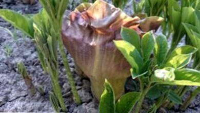 Photo of Cura dei gigli voodoo: coltivare una pianta di giglio voodoo