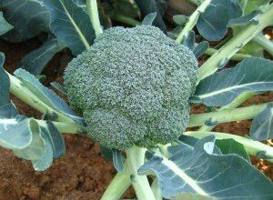 Photo of Cura del Broccolo Romanesco – Come coltivare le piante di broccolo Romanesco