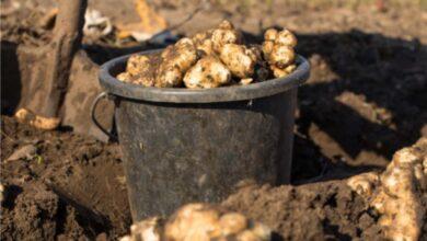 Photo of Cura del topinambur: imparare a coltivare un topinambur
