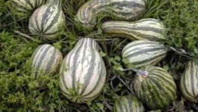 Photo of Cushaw Squash Plants – Come e quando piantare Cushaw Squash