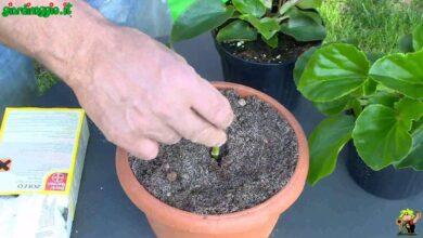 Photo of Foglie di Violetta Africana Roll Up – Cosa significa arrotolare le foglie della Violetta Africana?