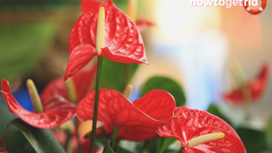 Photo of I semi che diffondono gli anthurium: Imparare a piantare i semi di anthurium