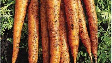 Photo of Imperator Carrot Information – Commento cultiver les carottes Imperator