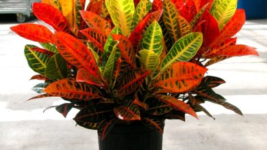 Photo of Impianto domestico Croton – Croton Plant Care