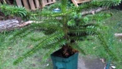 Photo of Indoor Monkey Puzzle: come far crescere una pianta d'appartamento