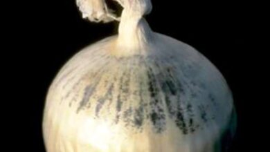 Photo of Informazioni su Black Mold on Onions: gestione di Black Mold on Onions