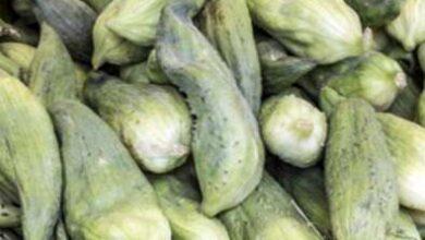 Photo of Informazioni sulla pianta di Caihua: Consigli per la coltivazione di cetrioli ripieni