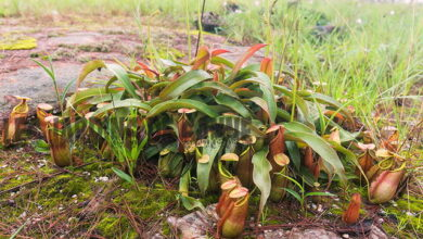 Photo of Irrigazione Nepenthes – Come innaffiare una brocca