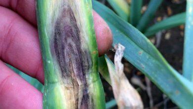 Photo of Macchia viola sulle cipolle: Controllo delle colture di cipolla a macchie viola