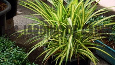 Photo of Nutrire una dracena – Come fertilizzare le piante di dracena