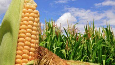 Photo of Partner per la coltivazione del mais – Maggiori informazioni sulla coltivazione del mais