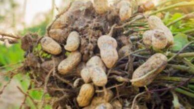 Photo of Peanut Runner – Informazioni sull'impianto di produzione di arachidi