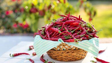 Photo of Peperoni mulatti: per saperne di più sugli usi e la cura dei peperoni Mulato