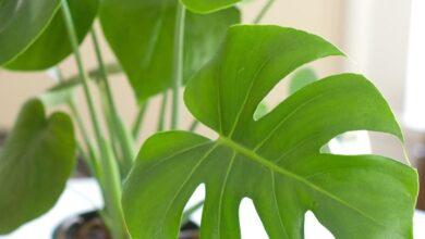 Photo of Piante d'appartamento Philodendron : Come far crescere una pianta d'appartamento Philodendron
