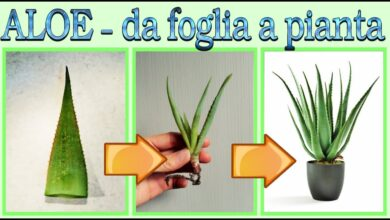 Photo of Propagazione di Aloe Vera Seeds – Come coltivare l'Aloe da semi