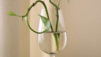 Photo of Propagazione di Pothos : Come propagare un Pothos