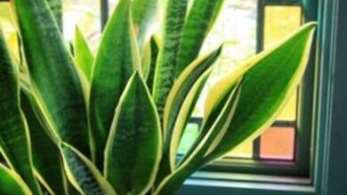 Photo of Snake Plant Info – Come coltivare e curare le piante di serpente