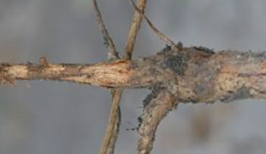 Photo of Southern Pea Cotton Root Rot Rot Rot – Texas Pea Root Rot Treatment