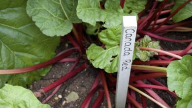 Photo of Sunrise Rhubarb Variety – Come coltivare le piante di rabarbaro Sunrise Rhubarb