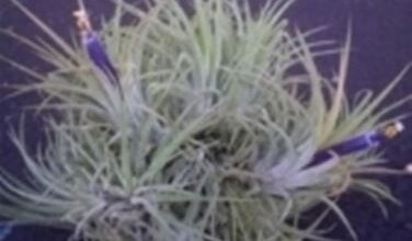 Photo of Tillandsia: Si può riportare in vita una pianta dall'aria?
