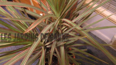 Photo of Tipi di dracaena: Scoprite le diverse piante di dracaena