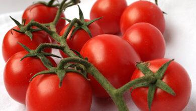 Photo of Tossicità delle piante di pomodoro – I pomodori in scatola ti avvelenano