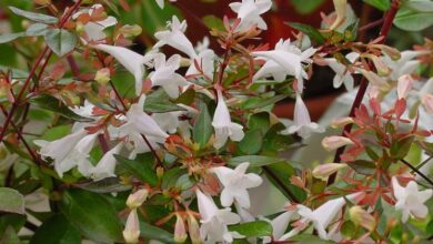 Photo of Abelia dalla Cina