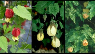 Photo of Abutilon-Ibrido Abutilon