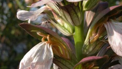 Photo of Acanthus a foglie morbide