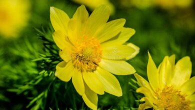 Photo of Adone di primavera, Adonide di primavera