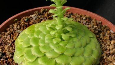 Photo of Aeonium tabuliforme Aeonium tabuliforme