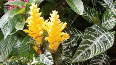 Photo of Afelandra (Aphelandra squarrosa Nees)