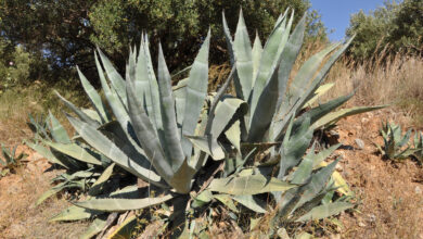 Photo of Agave cactus