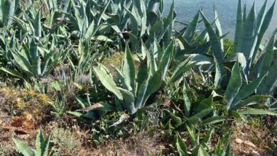 Photo of Agave leopardo, tubero messicano