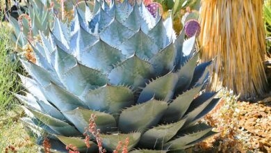 Photo of Agave parassana Agave parassana