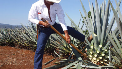 Photo of Agave Tequilana Agave bleu, Agave Tequila