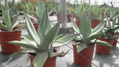 Photo of Agave vernae