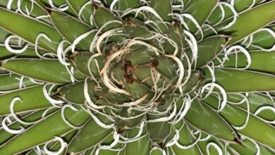 Photo of Agave x leopoldii Agave di Leopoldo
