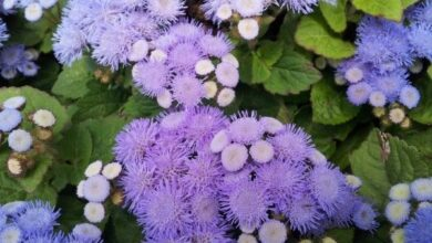 Photo of Ageratum, Ageratum de Mexico City