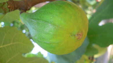 Photo of Albero di fico (Fig)