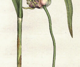 Photo of Allium sativum Ail