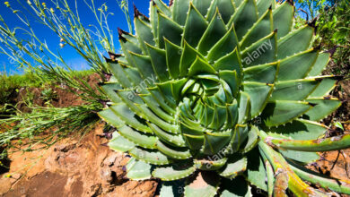 Photo of Aloe polyphylla Espiral de aloe de Lesotho