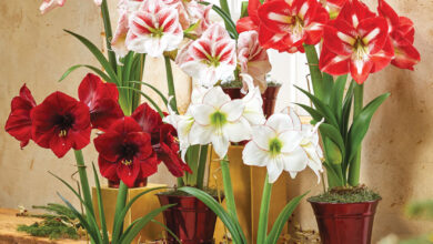Photo of Amaryllis