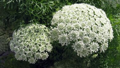 Photo of Ammi visnaga Khella, Noukha, Ammi visnage