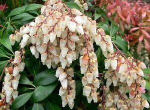 Photo of Andromeda del Giappone, Pieris