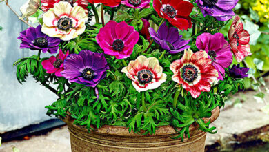 Photo of Anemone di Caen, Anemone per fioristi